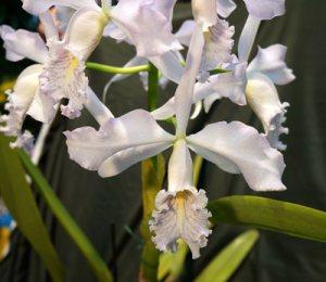 Cattleya maxima coerulea