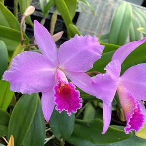 Cattleya trianae x Cattl. percivaliana