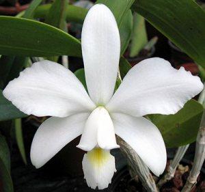 Cattleya violacea var.: alba
