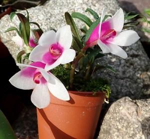 Dendrobium (cuthbertsonii x sulavesiense)x cuthbertsonii pink