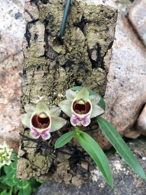 Dendrobium hekouense