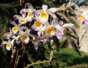 Dendrobium pendulum