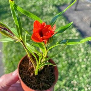 Dendrobium vexilarius