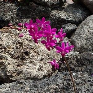 Doritaenopsis Purple Gem