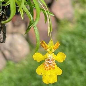 Erycina crista-galli