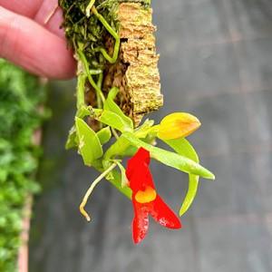 Fernandezia maculata