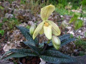 Paphiopedilum concolor var.: striatum