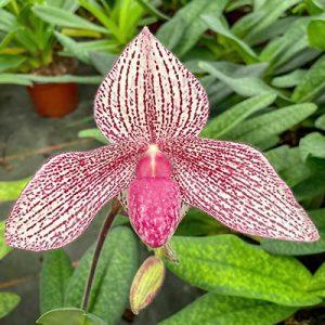 Paphiopedilum rothschildianum x P. Vanda Mc Pearman
