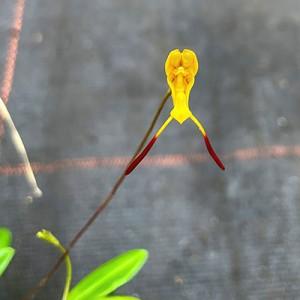 Porroglossum aureum