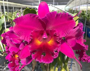 Rlc. Chia Lin Ruby ,Red Dragon'