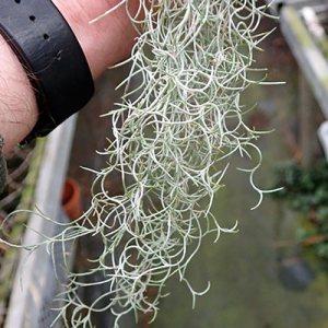 Tillandsia usneoides (kleinste Form)