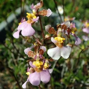 Tolumnia hawkensoniana