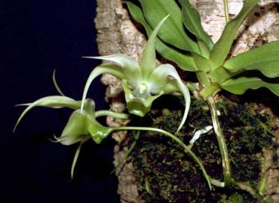 Aeranthes henrici