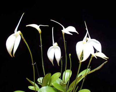 Masdevallia coccinea alba