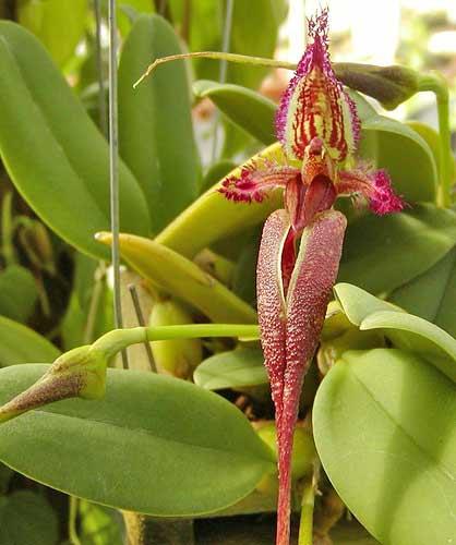 Bulbophyllum fascinator