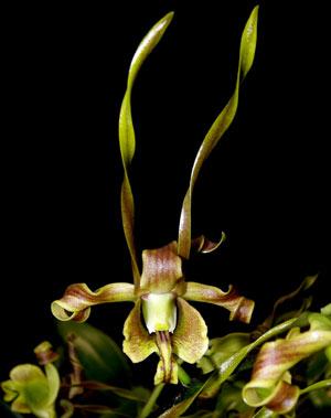Dendrobium sutiknoi-hybrid