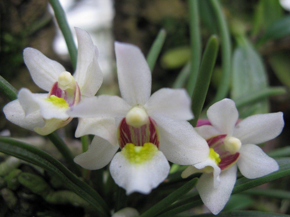 Holcoglossum flavescens