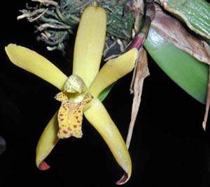 Maxillaria rufescens (very fragrant by Vanille)