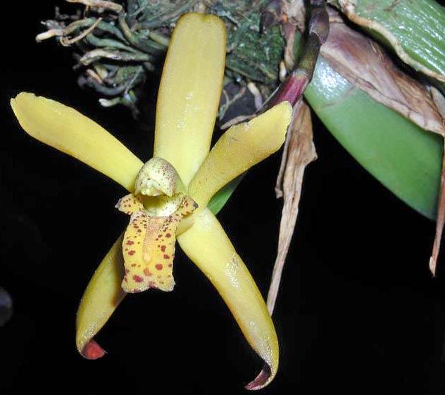 Maxillaria rufescens(duftet sehr nach Vanille)