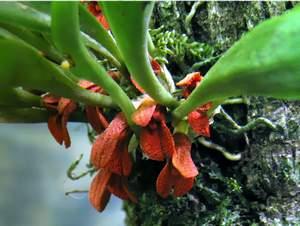 Pleurothallis tribuloides