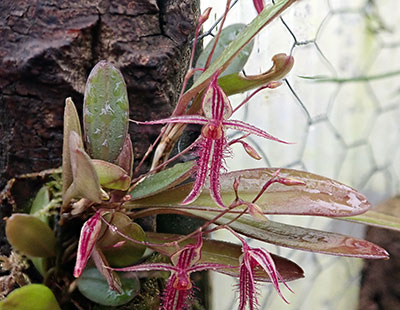 Andinia schizopogon