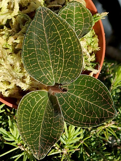 Anoectochilus brevilabris