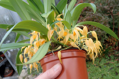 Bulbophyllum ankylochele