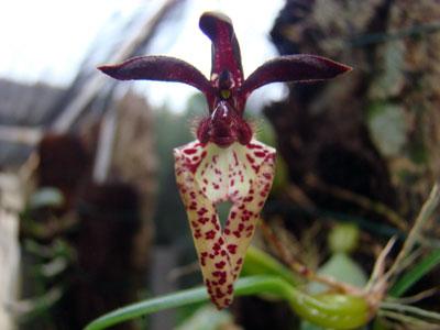 Bulbophyllum breviscarpum