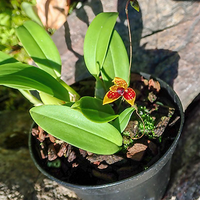 Bulbophyllum catenulatum