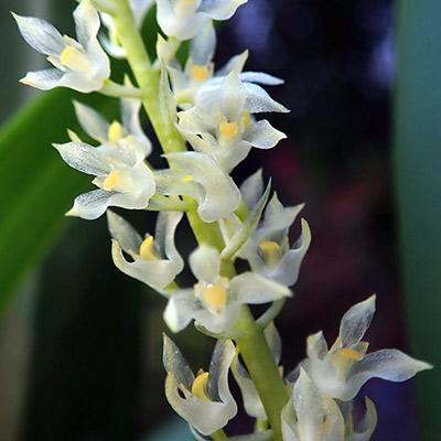 Bulbophyllum ebulum