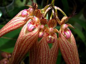 Bulbophyllum 'Elizabeth Ann'