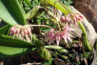 Bulbophyllum longiflorum