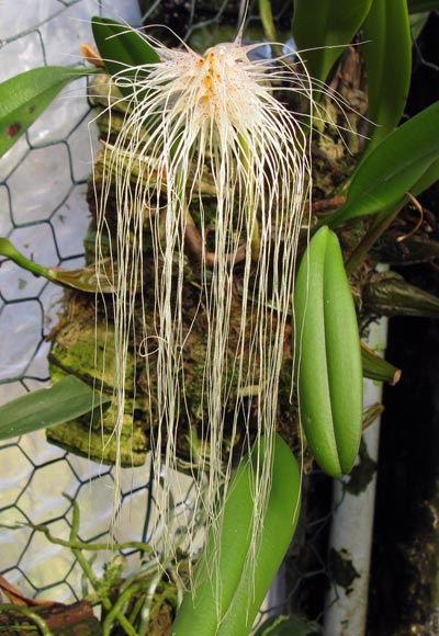 Bulbophyllum medusae