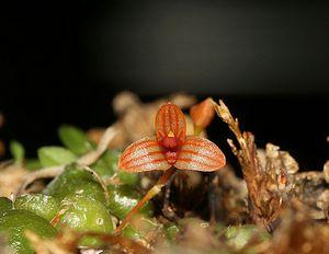 Bulbophyllum monoliforme