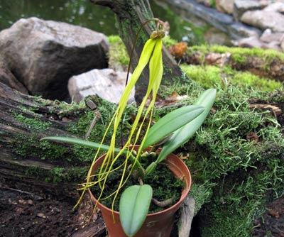 Bulbophyllum thiurum
