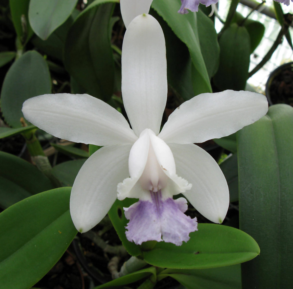 Cattleya intermedia var.: Coerulea