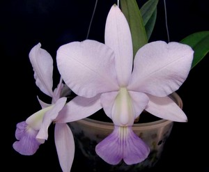 Cattleya walkeriana var. coerulea ,Manhatten'