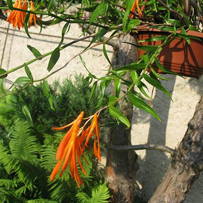 Dendrobium aurantiflameum