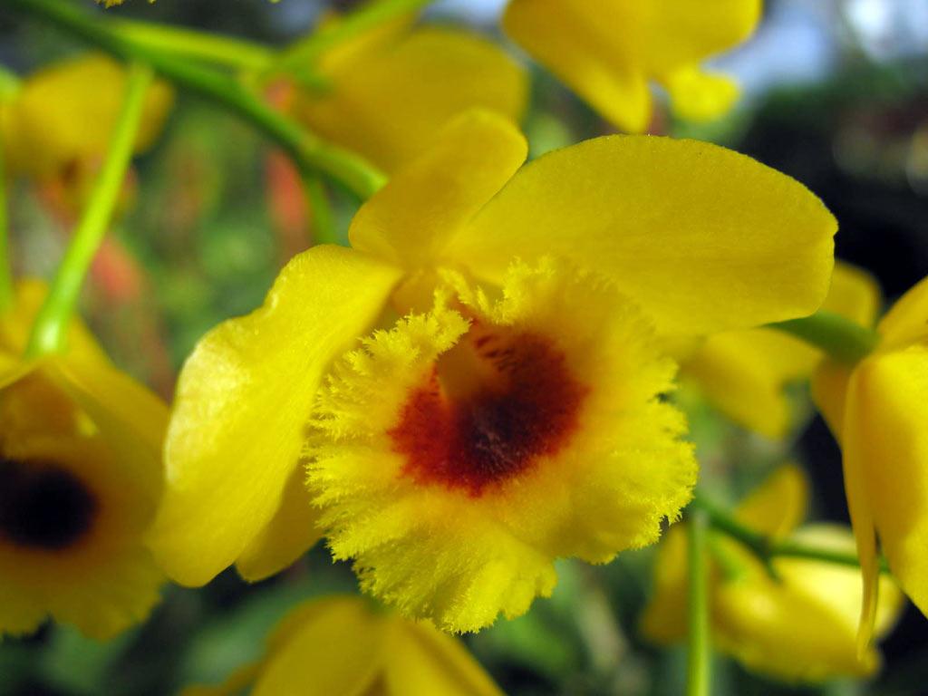 Dendrobium chrysotoxum var. suavissimum