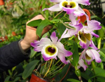Dendrobium findleyanum var.: Oculatum