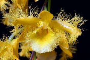 Dendrobium harveanum
