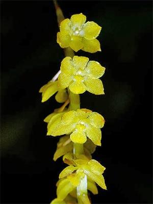Dendrochilum filiforme