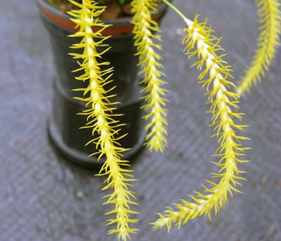 Dendrochilum pulcherimum