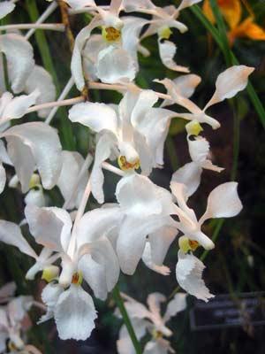 Holcoglossum subulifolium