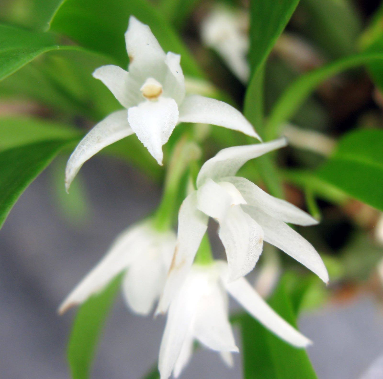 Panisea albiflora / ,,Kalimpongia dalatense''