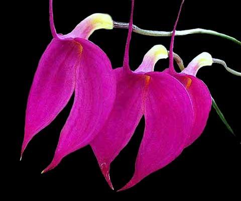 Masdevallia amabilis
