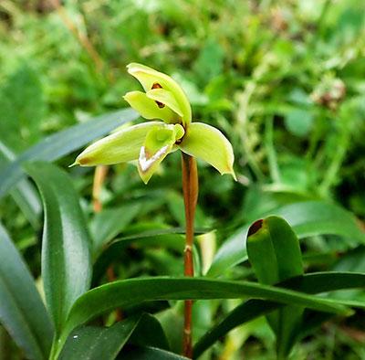 Maxillaria cerifera