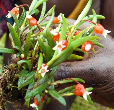 Mediocalcar bifolium