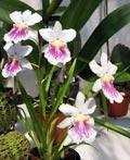 Miltonia phalaenopsis