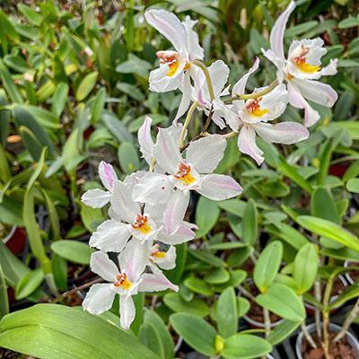 Odontoglossum nobile
